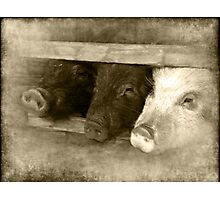 3 little pigs Photographic Print