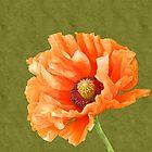 Poppy by shalisa