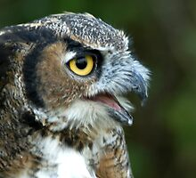 Great Horned Owl Portrait by Bryan Shane