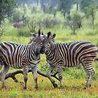 Zebra buddies by Dan MacKenzie