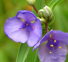 Blue Dayflower by lorilee