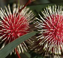 Pincushion Hakea, by Joy Watson