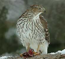 Sharp Shinned Hawk at Lunch by Bryan Shane