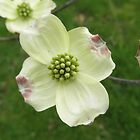 Dogwood Tree by ack1128