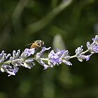 Bee on Lavender 1 by marcum502