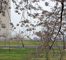 Cherry Blossoms at the Washington Monument by Stephanie Mayberry