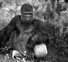 Western Lowland Gorilla by jjtaylor