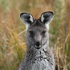 Eastern Grey Gray Kangaroo by RobynHButler