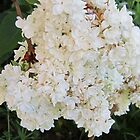 WHITE BLOSSOMS by rodney arbuckle