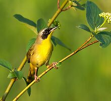 Common Yellowthroat on Dogwood by Bill McMullen