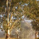 Gums in the mist by Rosalie Dale