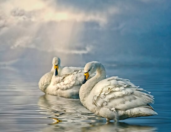 Whoopers by Tarrby