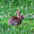 Brown Bunny Rabbit by Cynthia48