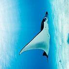 Manta Gliding By by Karen Willshaw