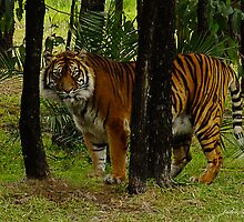 Tiger Territory by Julia Harwood