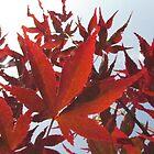 Japanese Maple by phildesjardins