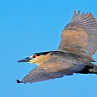 Black Crowned Night Heron by George I. Davidson