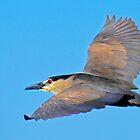Black Crowned Night Heron by George I. Davidson