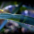 morning dew by karolina