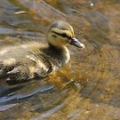 Duckling... by RichImage