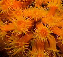 Orange Cup Coral by KSBailey