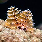 Atlantic Christmas Tree Worm by KSBailey