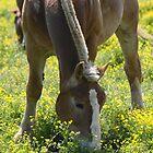 Buttercup Beauty by reindeer