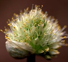 A Spring Onion.... HEAD! by Larry Llewellyn
