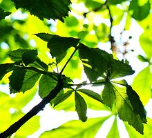 The light through horse chestnut leaves  by PictureNZ