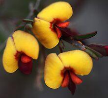 Bossiaea heterophylla by andrachne