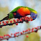 Rainbow Lorikeet. Cedar Creek, Queensland, Australia. by Ralph de Zilva