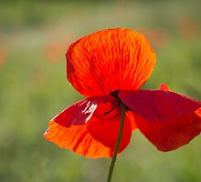 Poppy Butterfly by Karen Havenaar