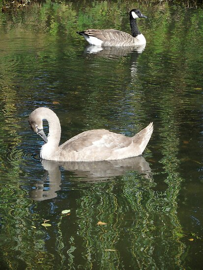 Goose and Swan by KUJO-Photo