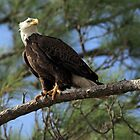Eagle stare by kathy s gillentine