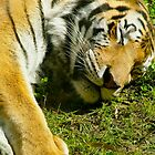 Sleeping Tiger by ChristaJNewman
