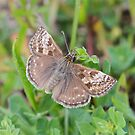 Not So Dingy Skipper by dilouise