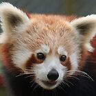 Mogo Zoo - Red Panda Portrait by Sally Haldane
