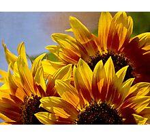 Sunflower tapestry Photographic Print