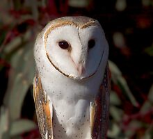 Barn Owl up close by mosaicavenues