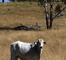 Brahman Bull by Noel Elliot