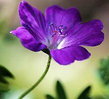 Wild Geranium by T.J. Martin