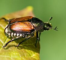 Japanese Beetle by Otto Danby II