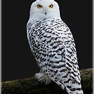 Snowy Owl by alan tunnicliffe
