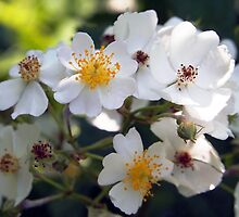 blackberry blossoms  by Linda  Makiej