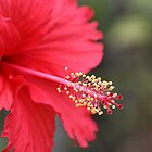 Red Hibiscus by cathywillett