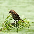 Female Red-wing Blackbird Guarding Her Nest by Ron Russell