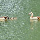Egyptian Goose / Nijlgans (Alopochen aegyptiaca) by Jacqueline van Zetten