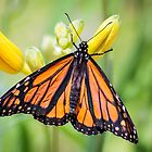 Monarch at Sarett by Robert Kelch, M.D.