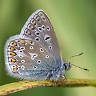 2nd Common blue of 2012 by Stacey  Purkiss