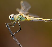 Red-veined darter dragonfly by Mauro Rodrigues